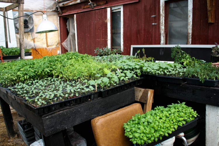 Greenhouse with seedlings ready to transplant on a small CSA farm