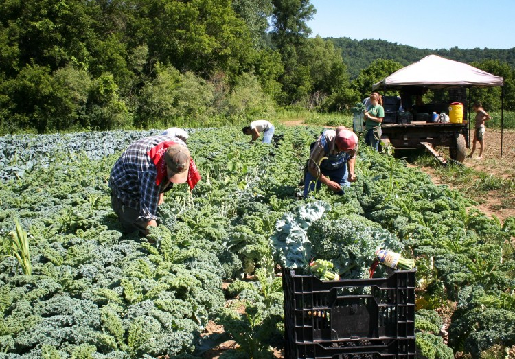 Tagging kale destined for Whole Foods on a scaled-up farm