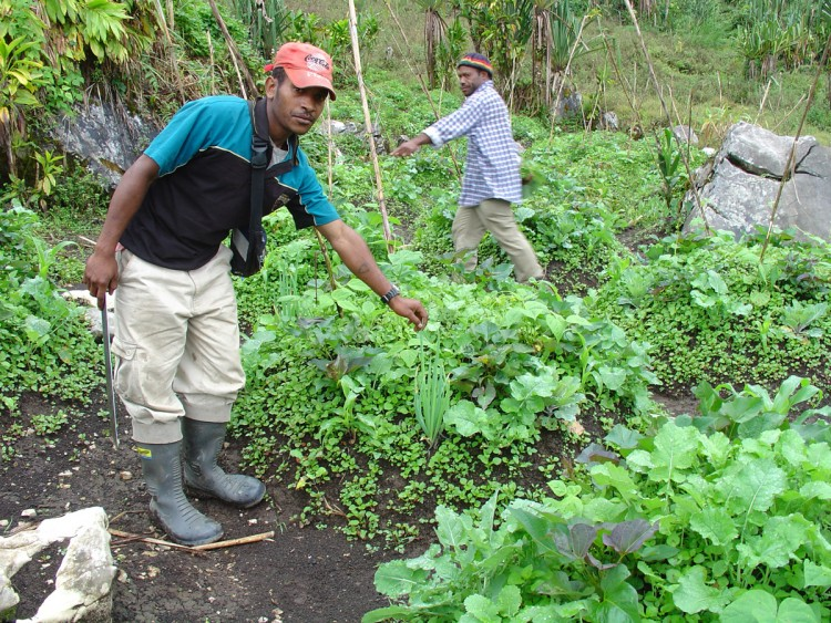 High-altitude garden in the Porgera Valley, Enga Province, PNG (Credit: Jerry K. Jacka)