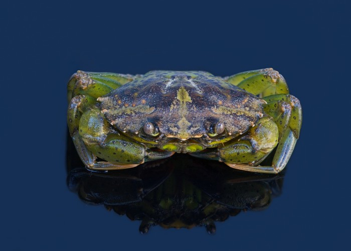 European green crab, Carcinus maenas (Photo: David Reed via Flickr)