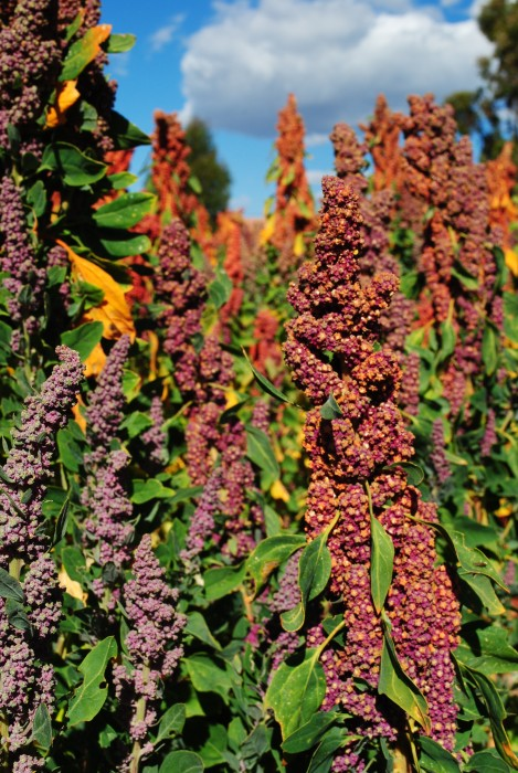 A variety of colorful quinoa panojas mixed together in a single field—a rare sight post-quinoa boom (photograph by Emma McDonell, 2015).
