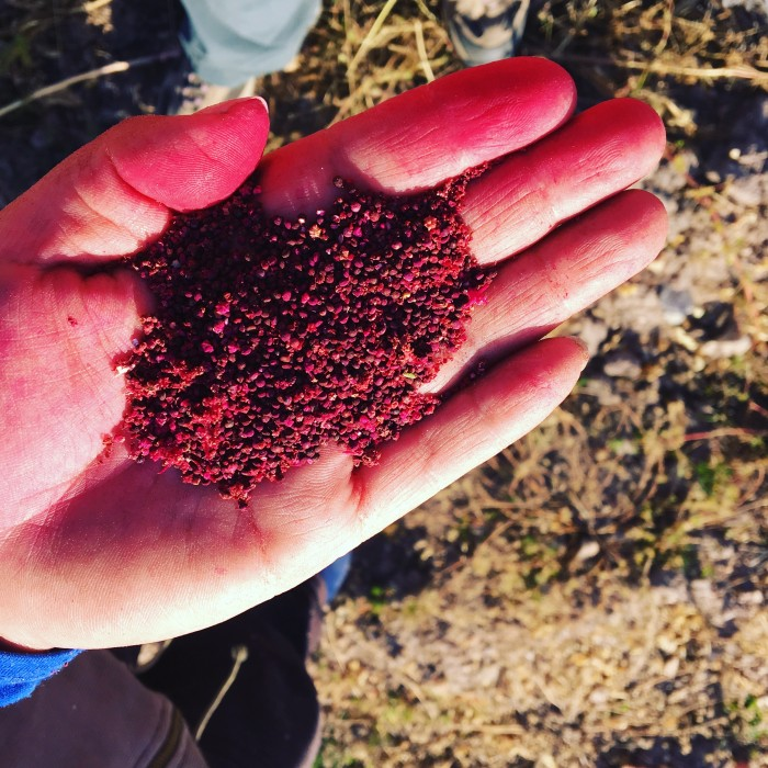 """Airampo"" quinoa, a variety not accepted by exporters (photograph by Emma McDonell, 2017)."