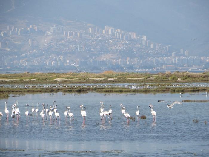 Flamingos in Izmir (© Caterina Scaramelli, 2013).